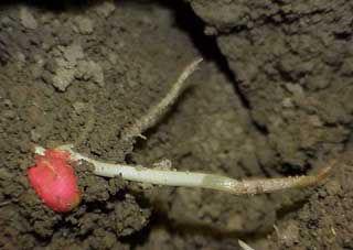 Photo: Corn plant coleoptile injury from freezing temperatures.