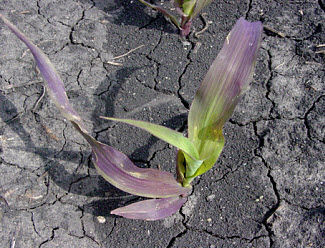 Corn seedling showing purple color due to phosphorus deficiency.