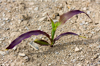 Purple corn due to environmental conditions; cold weather follow-ing warm sunny weather left sugars built up in the leaves.