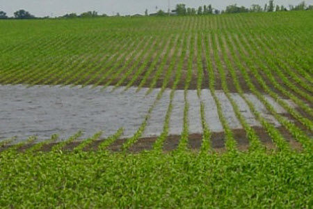 Ponding in corn field.