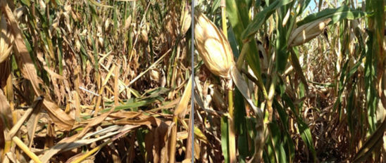 Photo: Corn field with side-dressed N