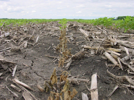 This is a photo showiing soybean stand loss due to Rhizoctonia infection. Microenvironments favorable for disease development may lead to losses in patches of rows.