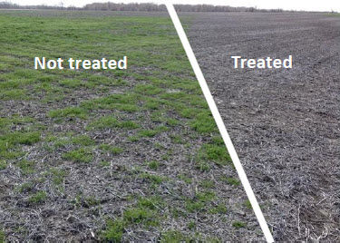 Comparison of treated and non-treated field. Controlling winter annual weeds results in a cleaner seedbed at planting.