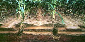 Examining below ground root growth and soil characteristics will tell if compaction exists.
