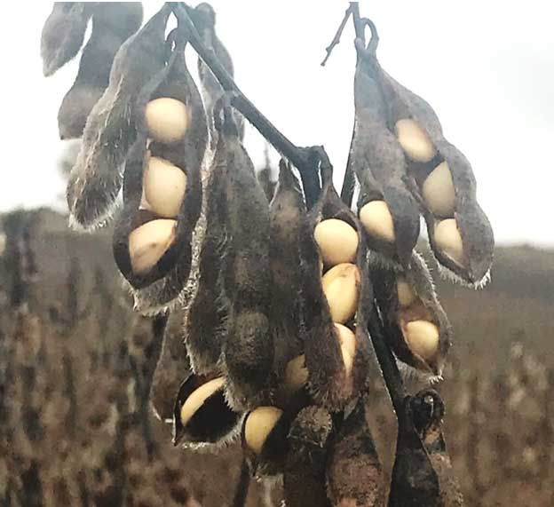 Photo showing soybeans that have swollen and ruptured the pods due to persistent wet conditions in Iowa in 2018.