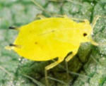 Identifying soybean aphid