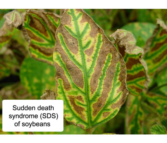 Photo: SDS - soybean leaf