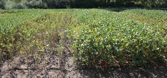 Photo: Differences in SDS severity between Pioneer ® brand variety 92M82 (left) vs. 92Y53 (right) on Aug. 17, 2012, near Decatur, MI.