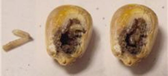Photo: Seedcorn maggot