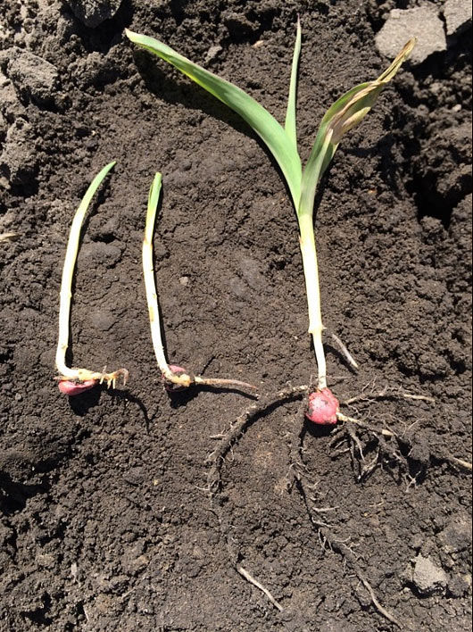 Photo showing corn seedlings slow to emerge next to a healthy seedling.