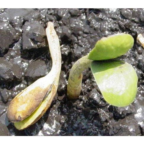 This is a photo showing soybean seedling emergence with symptoms of Pythium infection.