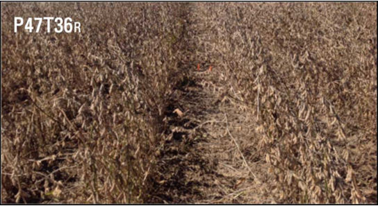 Side-by-side comparison of Pioneer® variety P47T36R grown in 40-inch rows in a 2014 Pioneer® GrowingPoint® agronomy research trial near Leland, Miss.