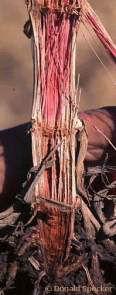 Gibberella stalk rot in corn stalk.