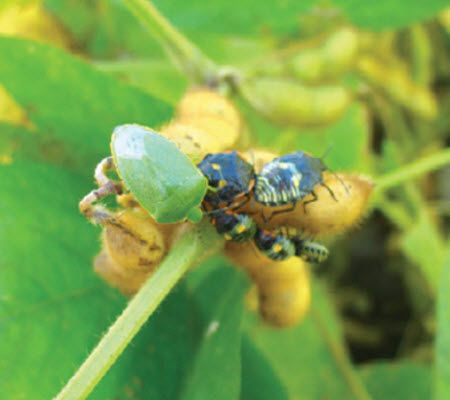 Green stink bug adult and nymphs on soybean pods.