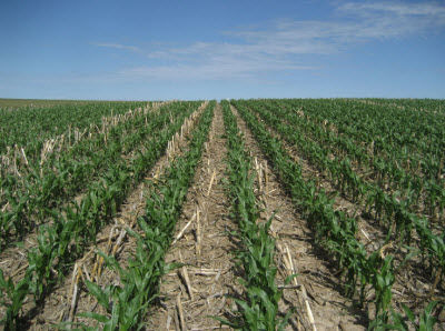 Corn residue in field.