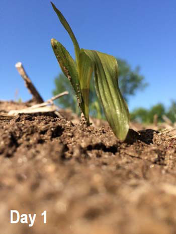 Corn seedling the morning following overnight lows of 28 F. Note watersoaked leaf tissue.