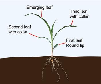 V3 corn plant.