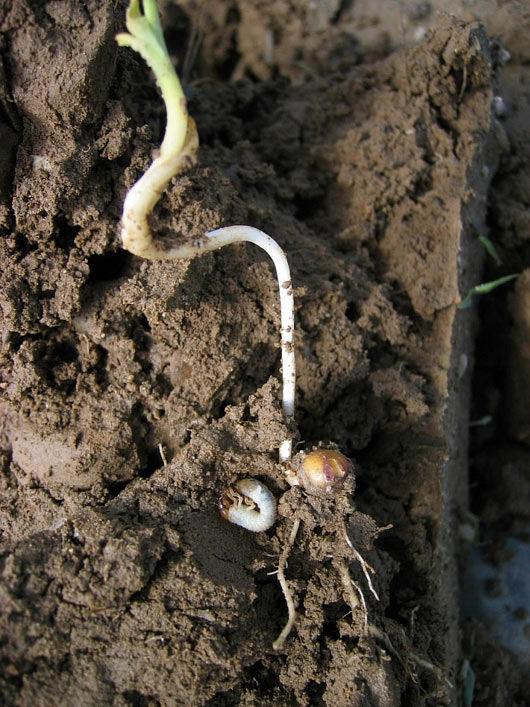 Photo showing white grub next to damaged corn seedling.