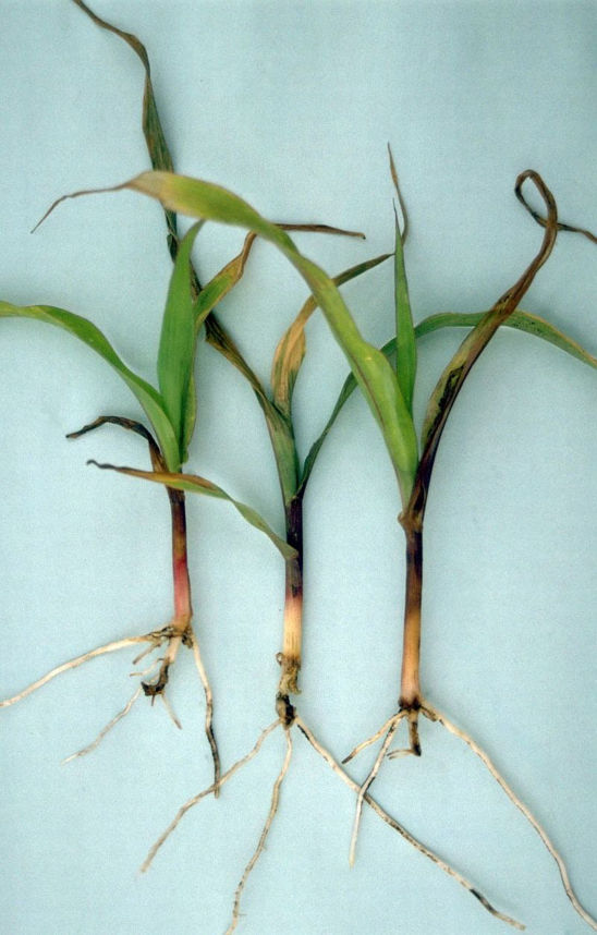 Young corn plants showing white grub symptoms. Young plants are stressed and turn light tan, yellow, or purple from nutrient and moisture stress.