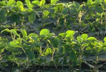 Planting very late shortens the soybean's vegetative growth period, resulting in smaller plants and later canopy closure.