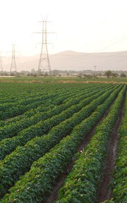 Cotton Best field