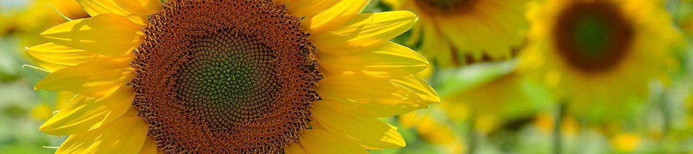 ayçiçeği ürün sayfası