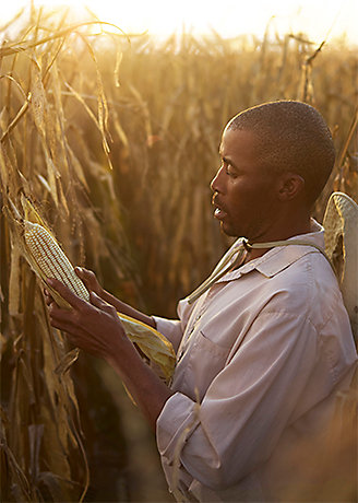 Man Inspecting Corn