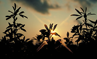 Alfalfa al Atardecer