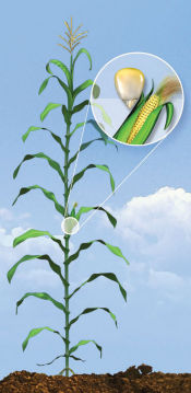 R4 Corn Growth Stage - Dough