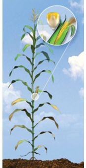 R5 Corn Growth Stage
