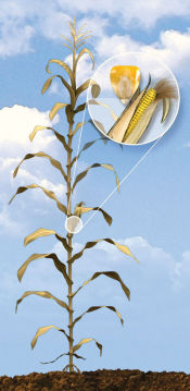 R6 Corn Growth Stage - Physiological Maturity