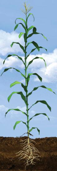 VT Corn Growth Stage