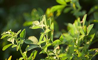 Cultivo de alfafa