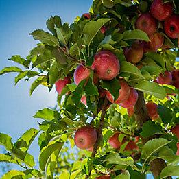 Entrust apples