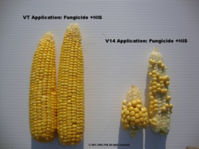 Corn ears from VT and V14 fungicide applications
