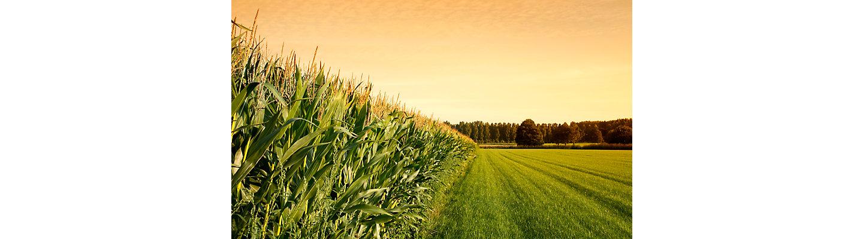 Pioneer_RU_corn_field_