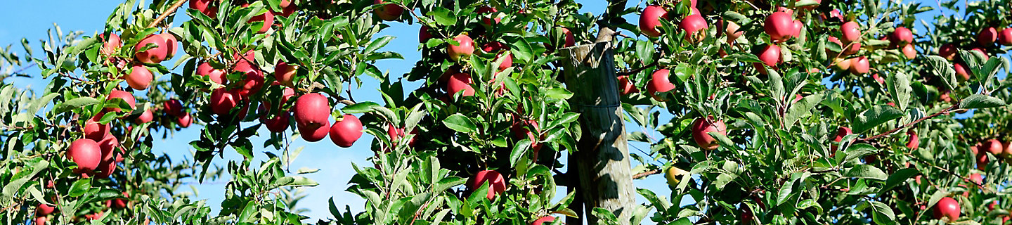 Image of apple orchard with mature apples on tree
