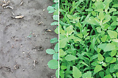 Treated and untreated Canopy PRO soybeans in Breslau Ontario