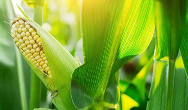 corn crop at sunset