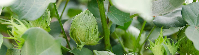 cotton green bolls