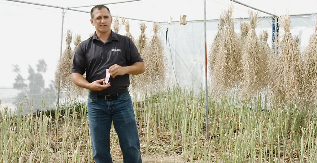 From Canola Breeding to Seeding - Part 2 -  Parent Seed Production