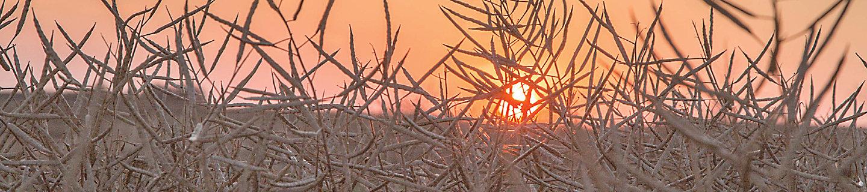 Canola at sunset