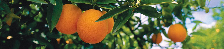 柑橘树风景图
