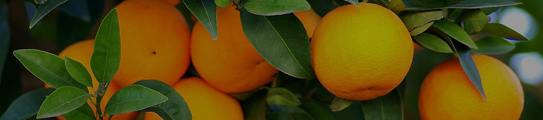 柑橘特写图