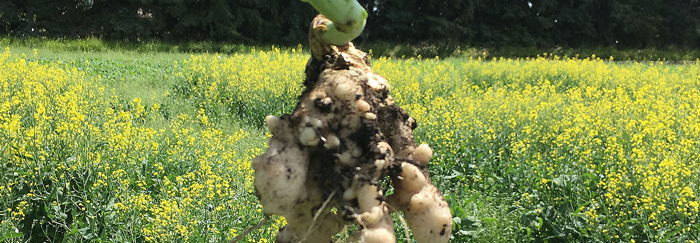 Clubroot image