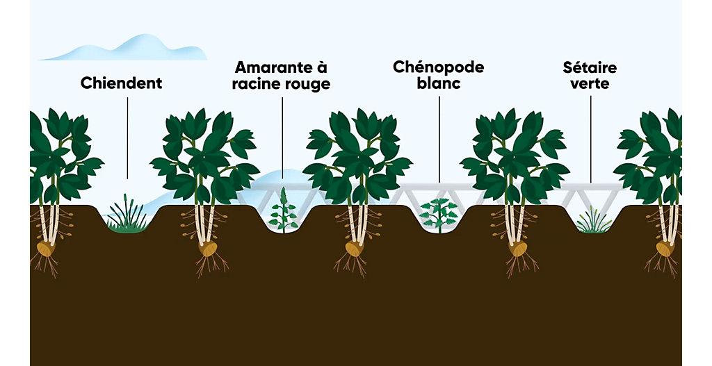 Lutte contre les ravageurs et les mauvaises herbes dans la culture de pommes de terre