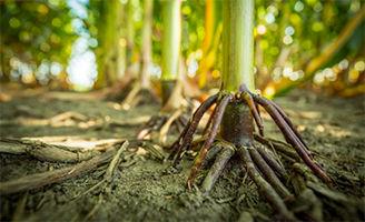 Corn roots close up