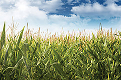 Corn field with sky in background