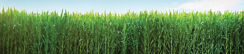 玉米田风景图1