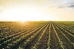 image of an early season corn field at sunset.